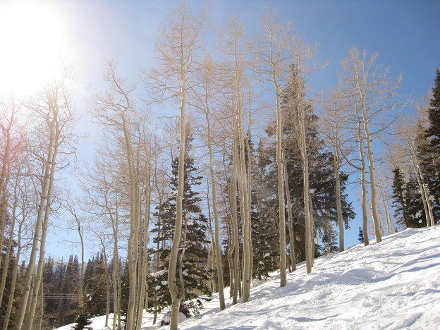 Trees at Deer Valley