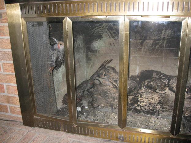 birds stuck in the fireplace